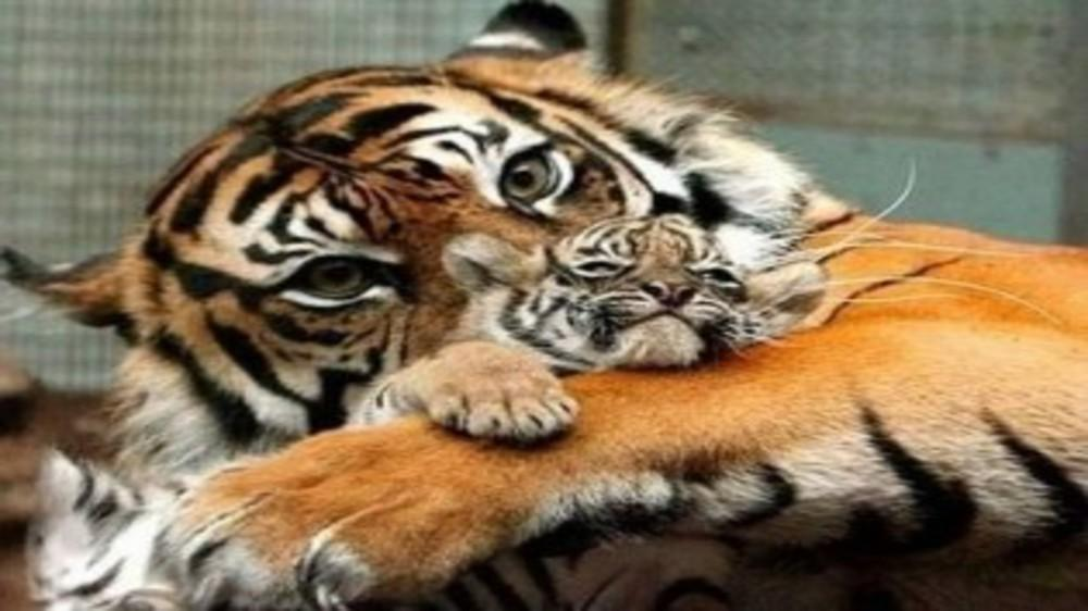 Look,that's a Tiger Mom!!!