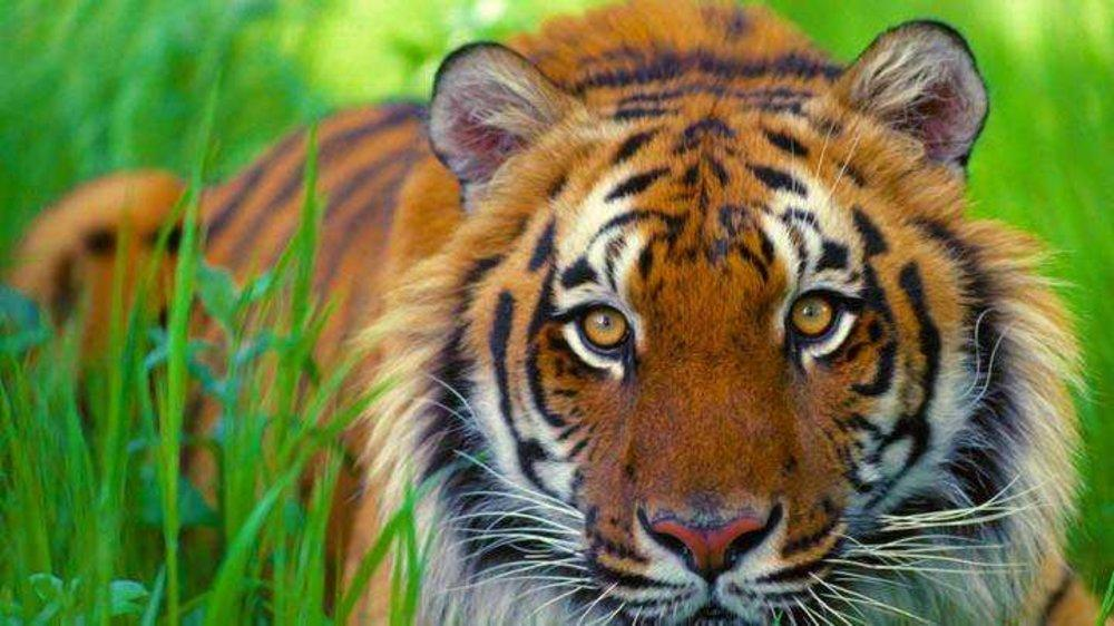 The Tigress Unleashed!